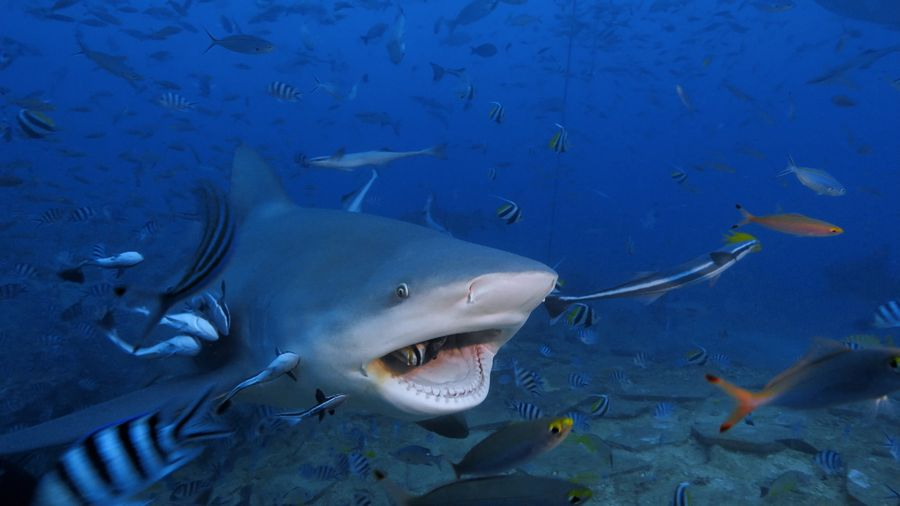 Cápafesztivál